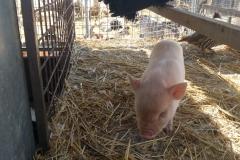 Notre cochon nain